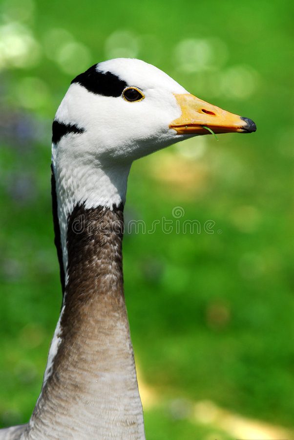 Portrait bar-headed Goose royalty free stock photo