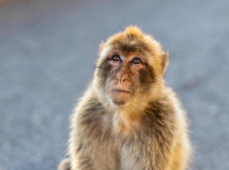 Portrait of a Barbary macaque. Portrait of a Barbary macaque in Gibraltar stock image
