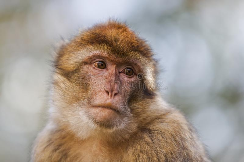 Portrait of a Barbary macaque. Barbary macaque Macaca sylvanus portrait. The old world monkeys are endemic to north Africa and Gibraltar royalty free stock images