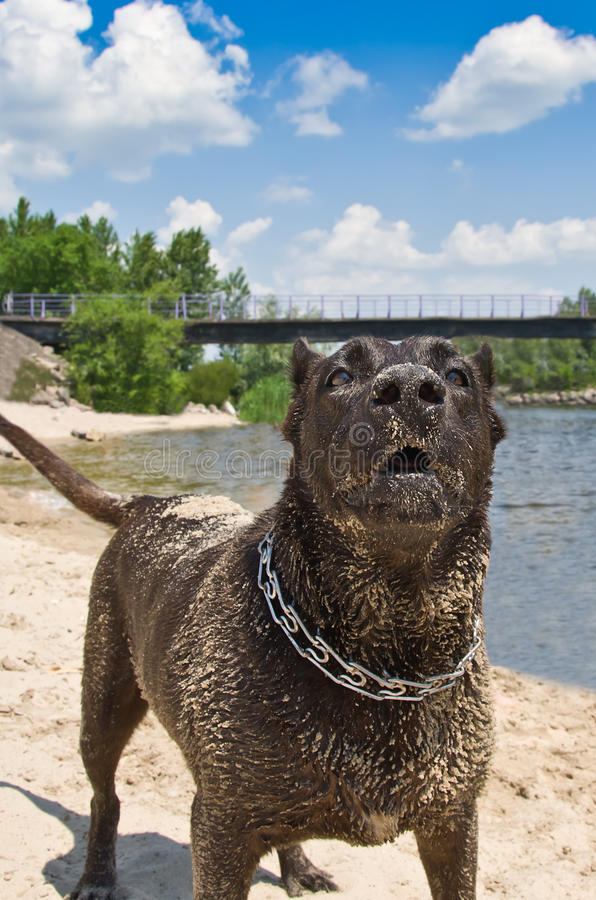 Portrait of a barking dog. On the river bank royalty free stock image