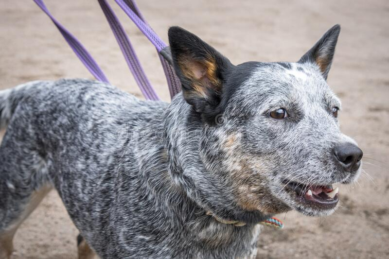 Portrait of barking young Australian Cattle Dog Blue Heeler, close-up.  stock photos