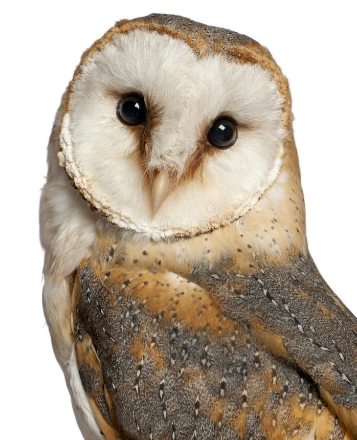 Portrait of Barn Owl, Tyto alba, in front of white background royalty free stock photos