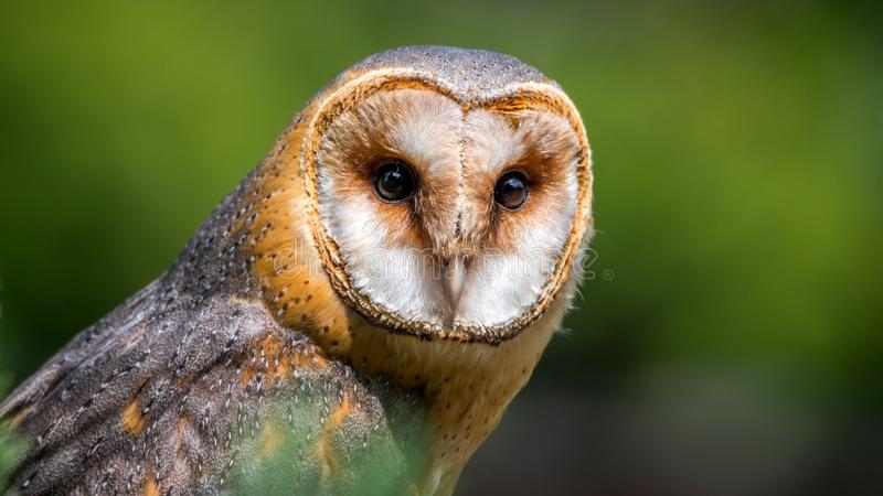 Portrait of Barn owl - tyto alba. The barn owl Tyto alba is the most widely distributed species of owl and one of the most widespread of all birds. It is also stock photo