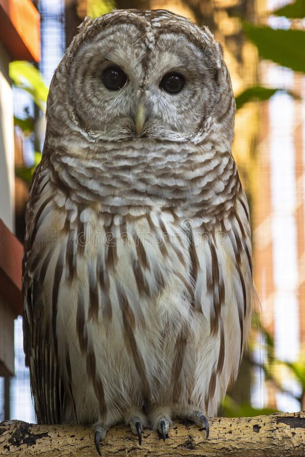 Alert barred owl sitting on a branch royalty free stock image