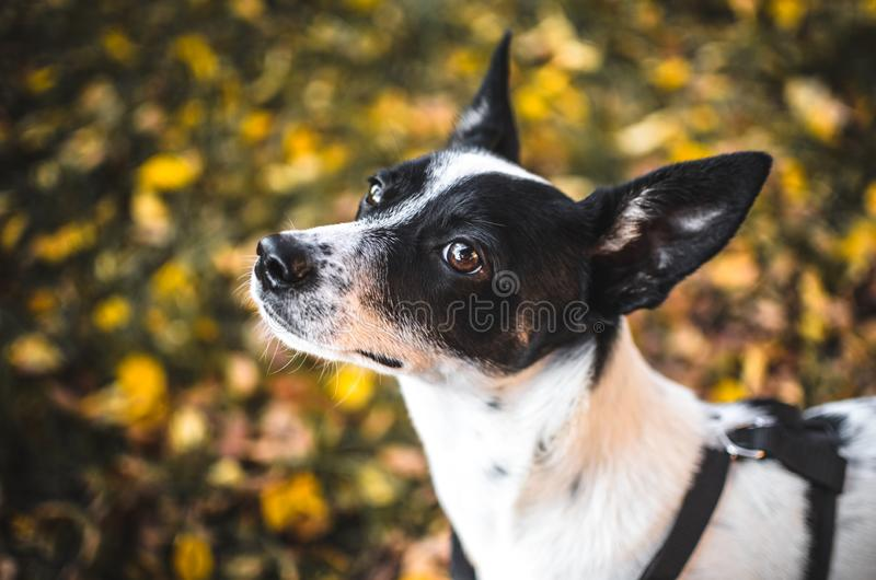 Portrait of basenji on a background of leaves. Photo of a domestic dog of a nine month old beautiful Basenji white puppy with a black speck with very soft hair royalty free stock photos