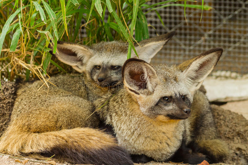 Download The Portrait Of Bat-eared Fox  Family Stock Image - Image: 29933703