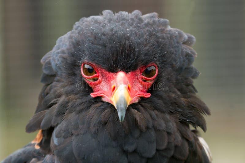 A portrait of a Bateleur Eagle stock image