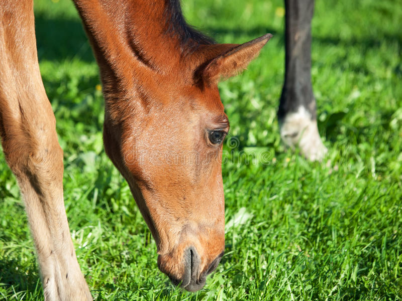 Download Portrait Of  Bay Hanoverian Foal Stock Image - Image: 31776981