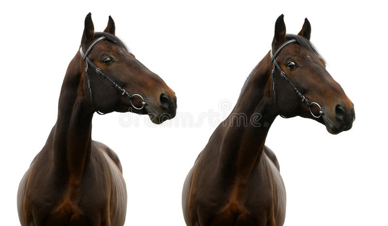 Download Portrait of bay horse stock photo. Image of horse, trakehner - 16871304