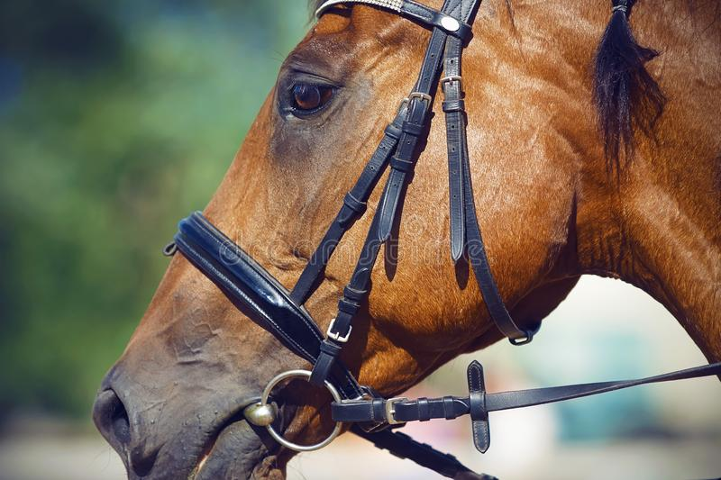 Portrait of Bay horse, dressed for dressage in the bridle. Halter and snaffle in the mouth. The horse is ready to participate in the competition royalty free stock images