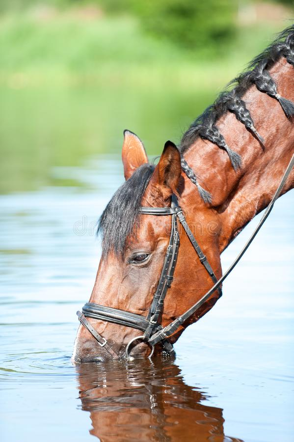 Portrait of bay horse drinking water in river. royalty free stock image