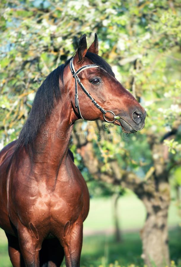 Portrait of bay horse posing in apple garden. spring royalty free stock photography