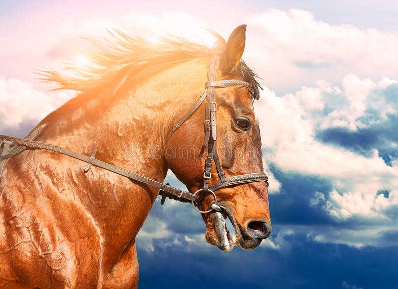 Portrait of bay horse on the run in the background of the cloudy sky royalty free stock image