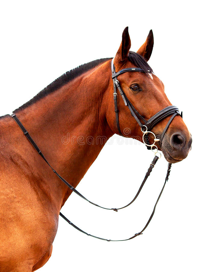 Portrait of bay horse on a white background stock photography