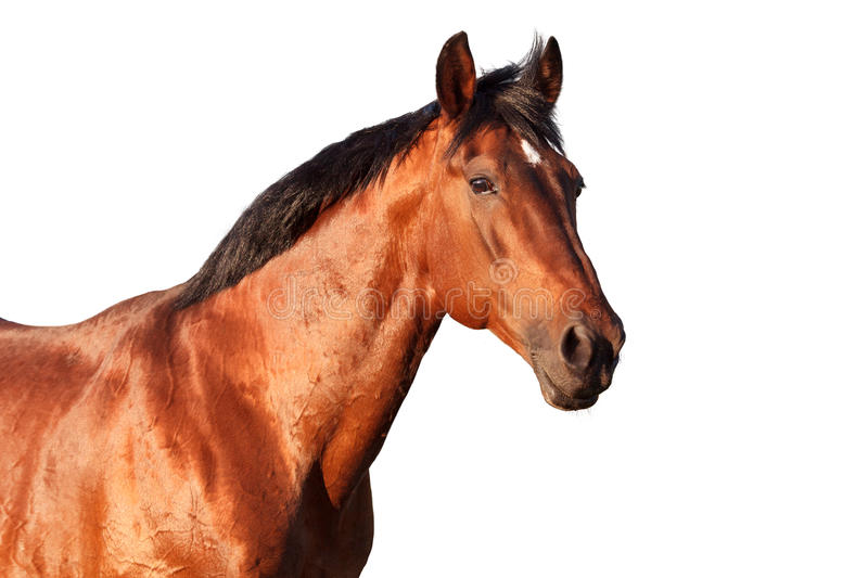 Portrait of a bay horse on white background. Portrait of a bay horse on a white background. Horizontal stock images