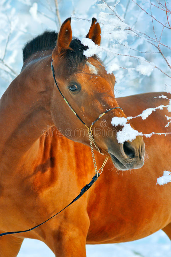 Portrait of bay horse in winter royalty free stock photo