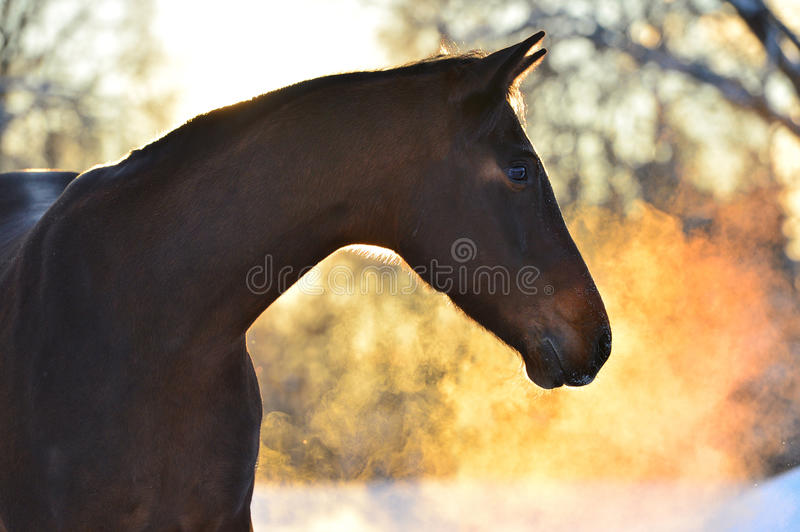 Portrait of the bay horse in winter with golden couple stock photo