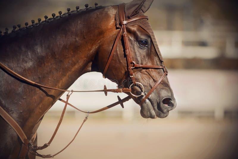 Portrait of a Bay stallion with a dark braided mane royalty free stock photos