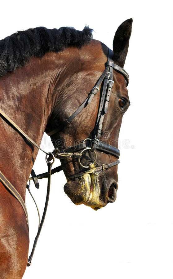 Download Portrait Of Bay Stallion Isolated Royalty Free Stock Images - Image: 10725519