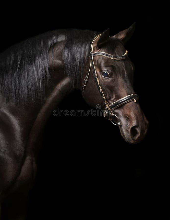 Portrait of a bay stallion stock photography