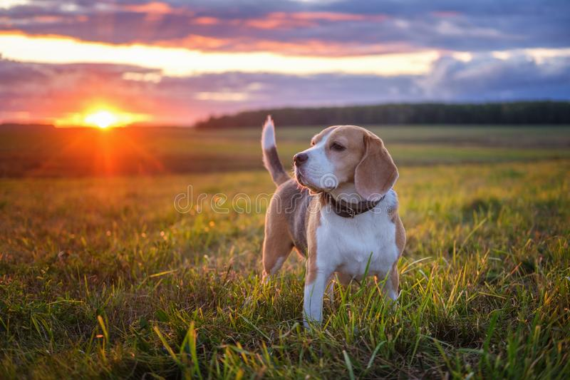 Portrait of a beagle dog on a background of a beautiful sunset sky royalty free stock photography