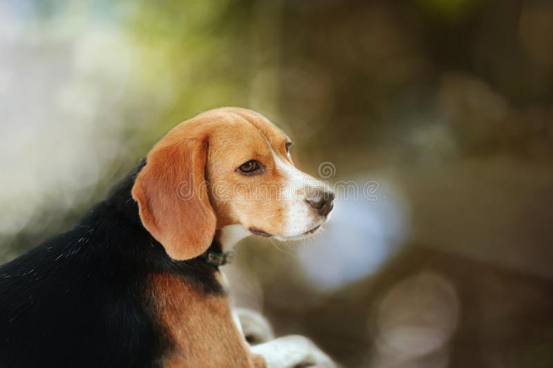 Portrait of a beagle dog outdoor. Portrait of an adorable beagle dog outdoor in fall royalty free stock image