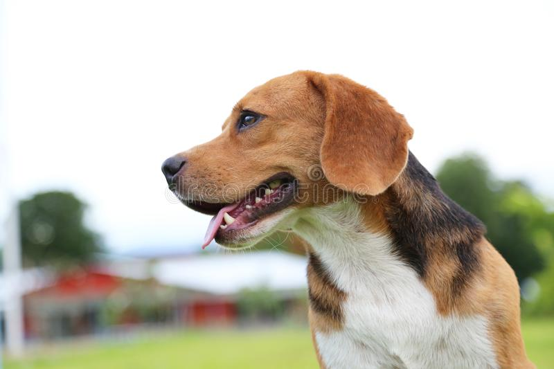Portrait of beagle dog outdoor. Portrait of beagle dog outdoor in the park stock photography