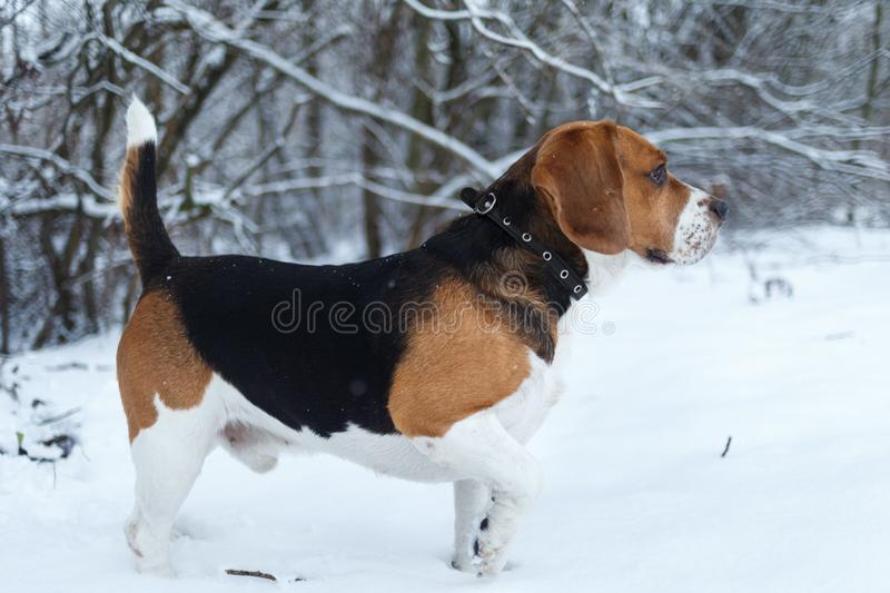 Portrait of a Beagle dog in winter, cloudy day stock image
