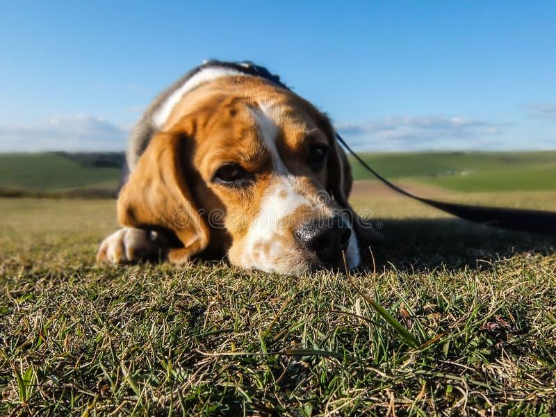 Portrait Of Beagle In Sunny Yard Free Public Domain Cc0 Image