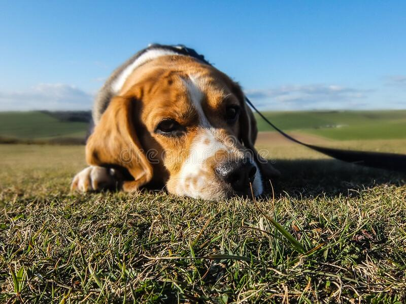 Portrait of beagle in sunny yard stock image