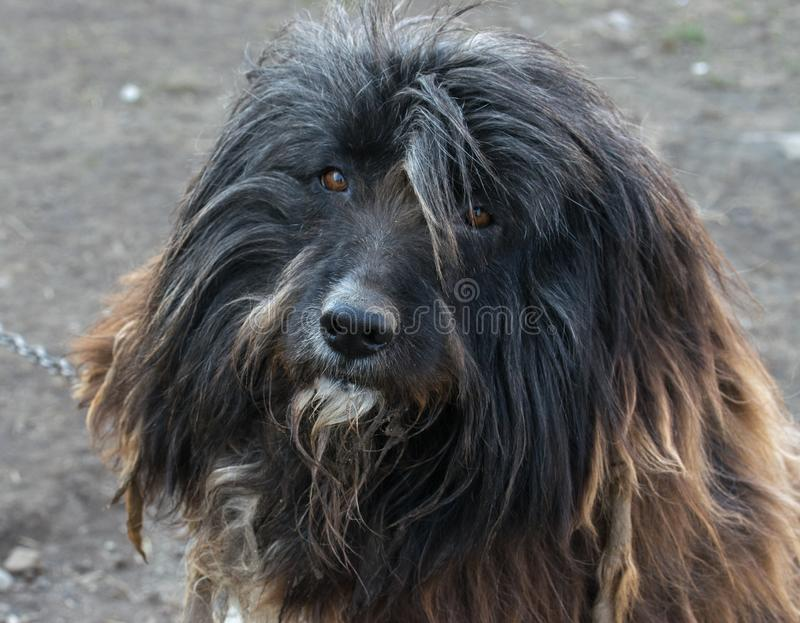 A portrait of a bearded collie dog looking into the camera royalty free stock photos