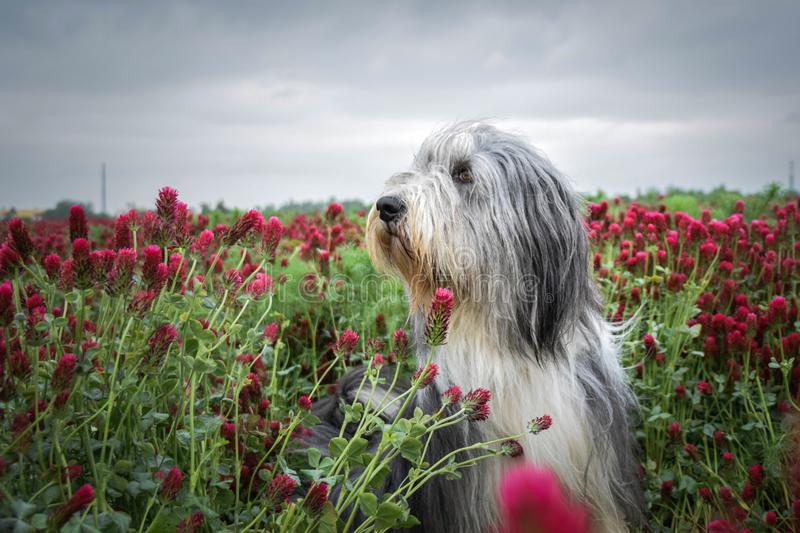 Portrait of bearded collie, who is sitting in shamrock stock photos
