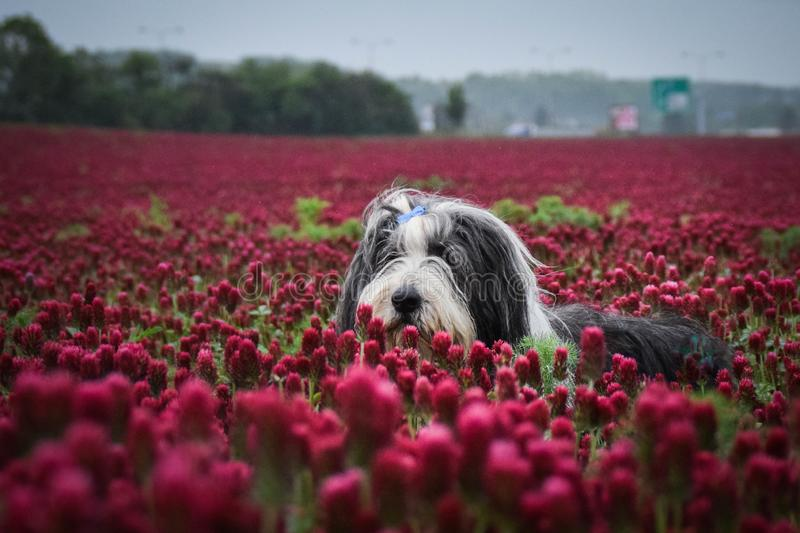Portrait of bearded collie, who is watching on birds on the sky stock image