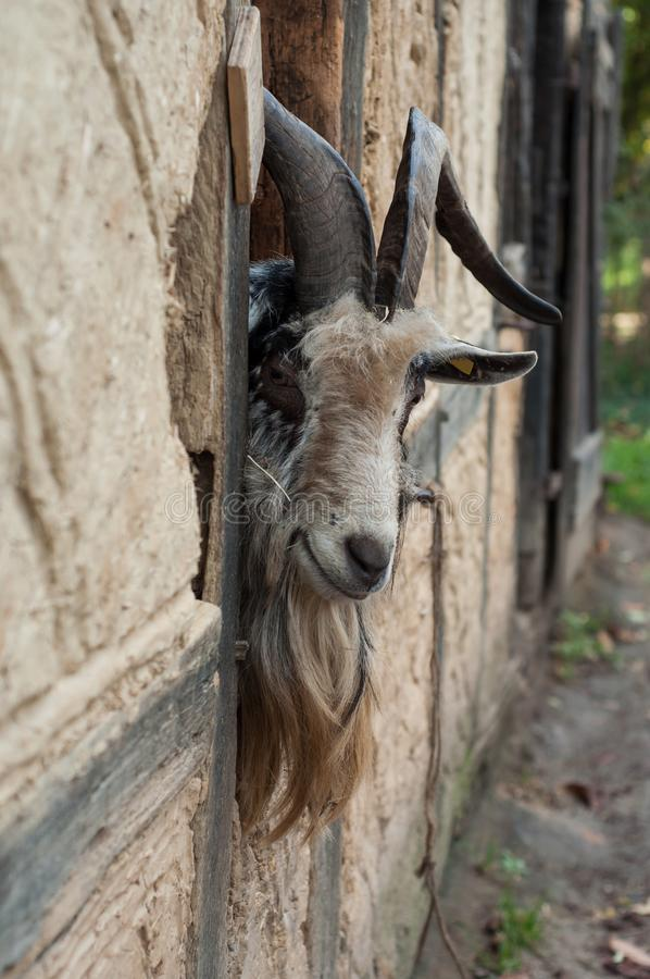 Bearded goat with long horns passing the head through a window of a medieval farm. Portrait of bearded goat with long horns passing the head through a window of royalty free stock photography