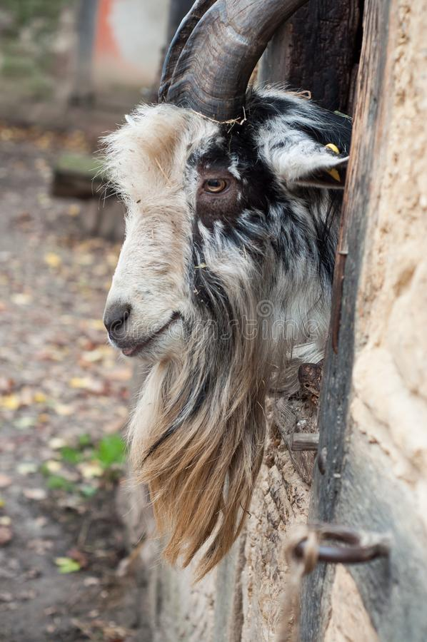 Bearded goat with long horns passing the head through a window of a medieval farm. Portrait of bearded goat with long horns passing the head through a window of stock photo