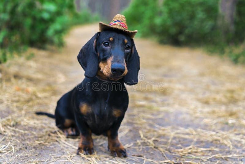 Portrait beau d'un noir de teckel de race de chiot de chien bronzage, dans le chapeau d'un cowboy dans la forêt verte photo stock