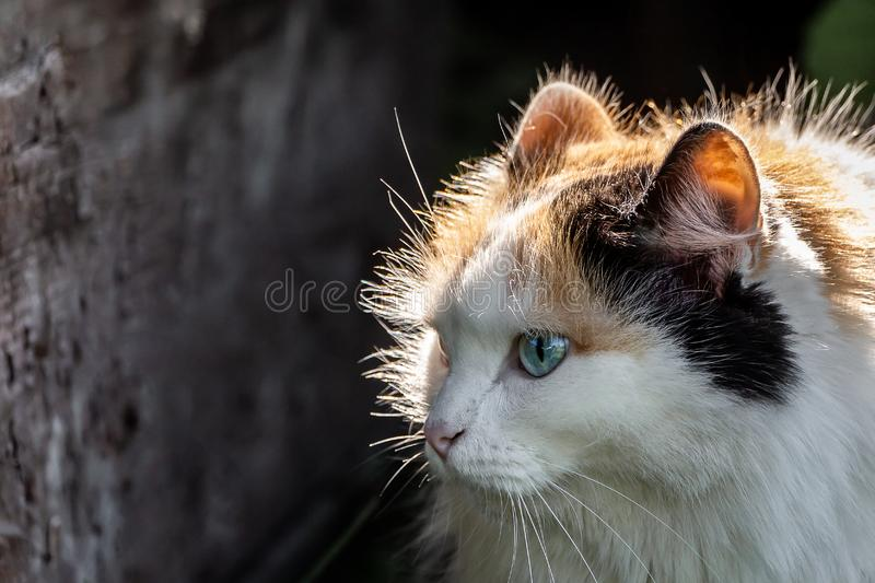 Portrait of a beautiful adult fluffy long-haired tri-colored cat with blue eyes and pink nose is in the sun light on a. A portrait of a beautiful adult fluffy royalty free stock photos