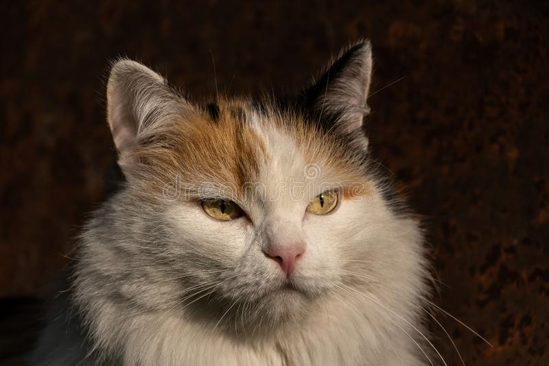 Portrait of a beautiful adult fluffy long-haired tri-colored cat with green eyes and pink nose is in the sun light on a blurred. A portrait of a beautiful adult royalty free stock photos