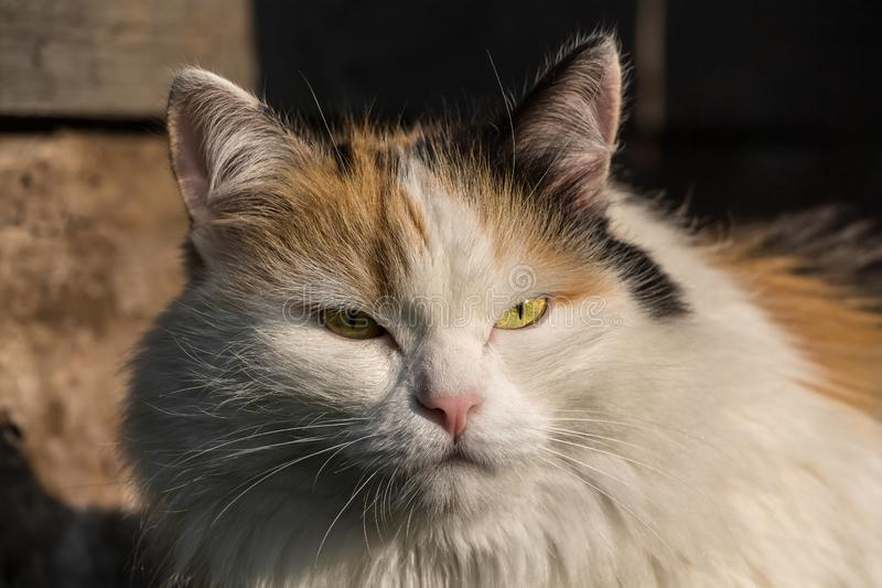 Portrait of a beautiful adult fluffy long-haired tri-colored cat with green eyes and pink nose is in the sun light on a blurred. A portrait of a beautiful adult royalty free stock photo