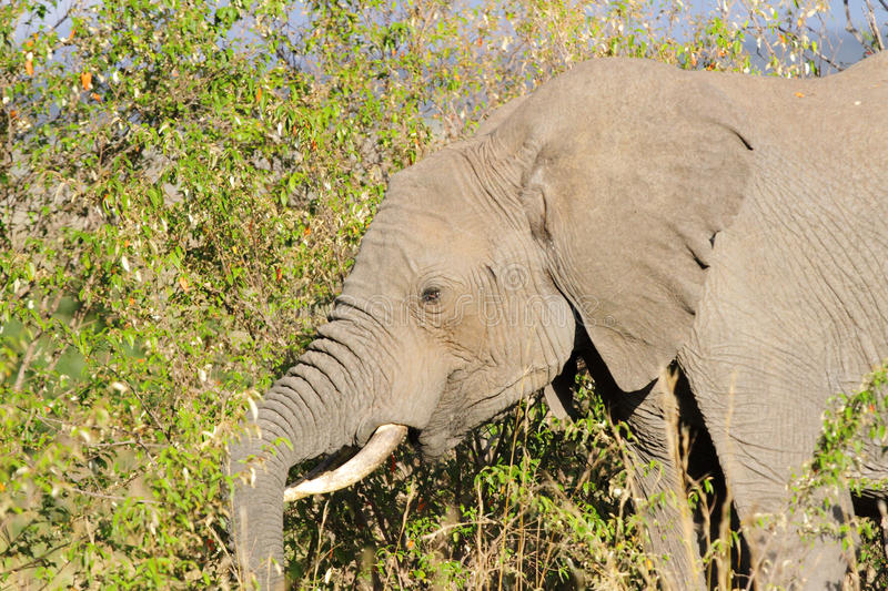 A portrait of beautiful African elephant royalty free stock photography