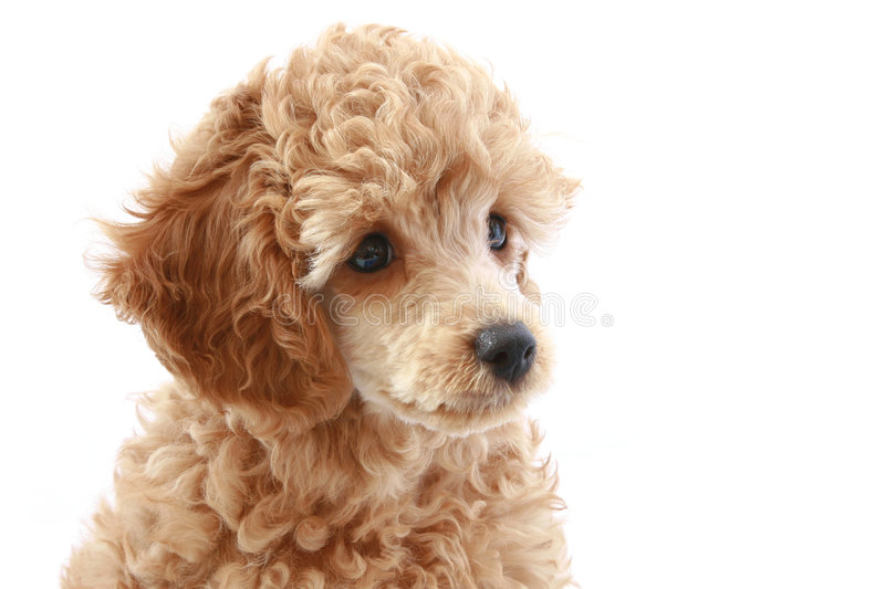 Portrait of beautiful apricot poodle puppy stock image