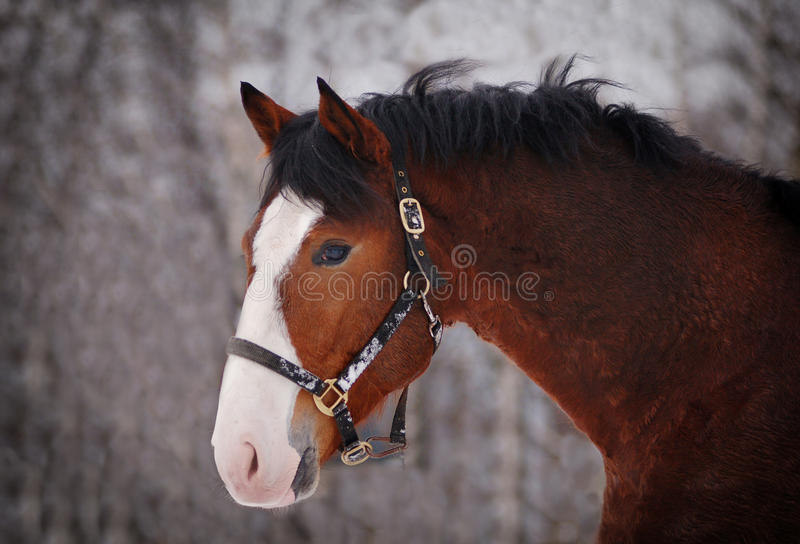 Portrait of beautiful bay horse with big white marking stock images