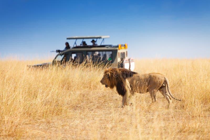 Portrait of beautiful big lion at safari park. Side view portrait of beautiful big lion hunting at safari park, Africa stock photo