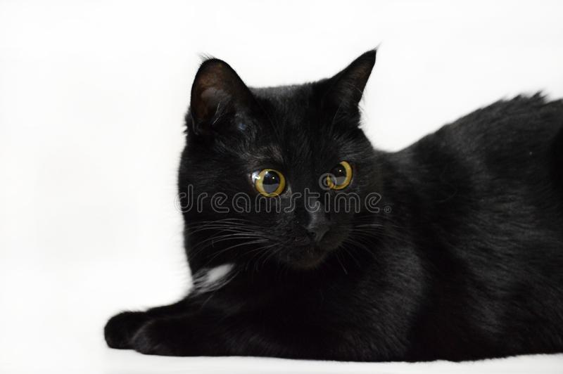 Portrait of a beautiful black cat on a white background. Light background, yellow cat`s eyes, laconic portrait stock photo