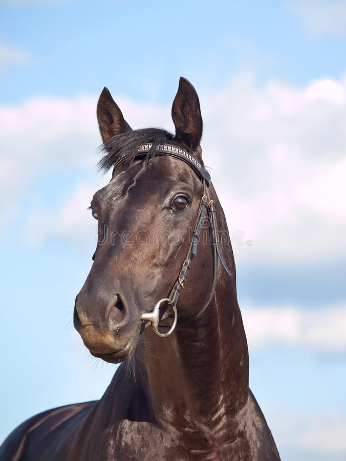 Portrait of beautiful black horse at blue sky royalty free stock photo