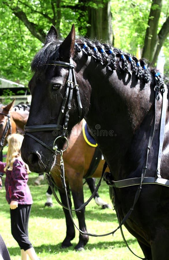 Portrait of beautiful black horse stock photos