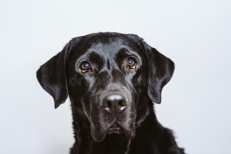 Portrait of beautiful black labrador dog at home. white background, pets indoors royalty free stock image