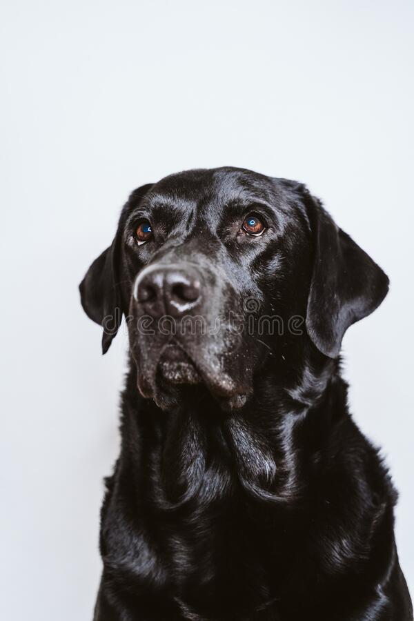 Portrait of beautiful black labrador dog at home. white background, pets indoors royalty free stock images