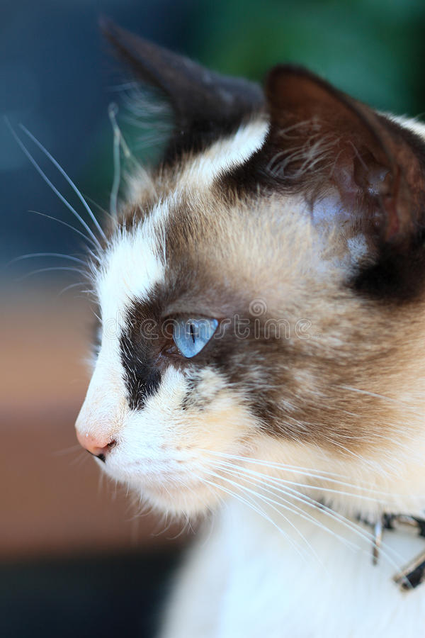 Portrait of the beautiful blue eyes cat stock image