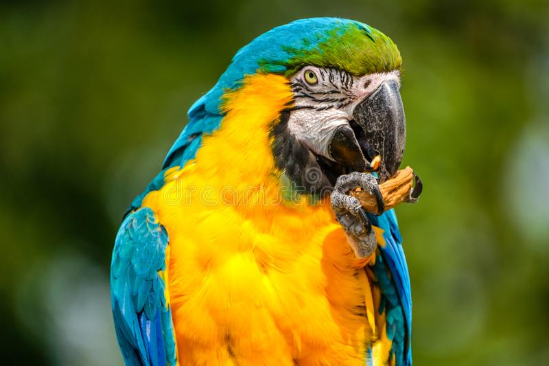 Portrait of a beautiful blue-yellow Macaw eating a walnut. He holds the walnut tightly with his claw royalty free stock image